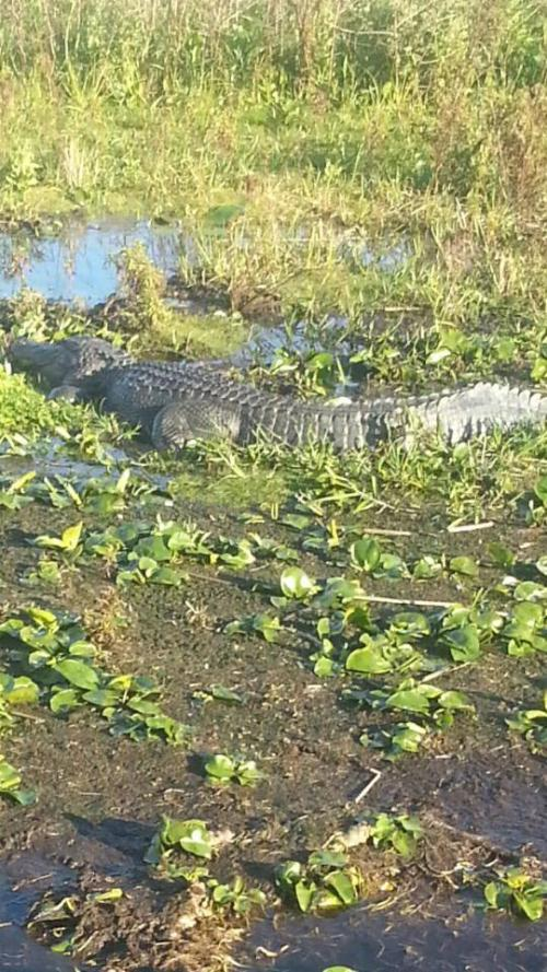 Alligator on Boggy Air Boat Tour in Orlando